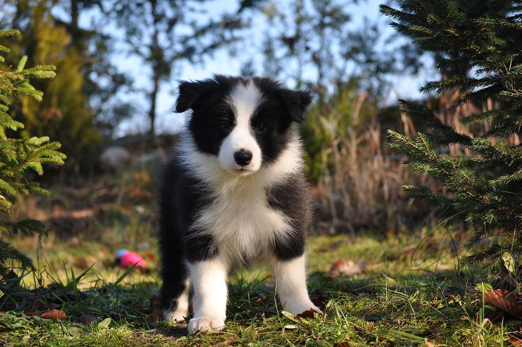 VIVA LA TIA kennel,breeding, sale, Border Collie puppies Forestry (Poland Pomorskie) Hodowla, sprzedaż, szczeniaki Border Collie