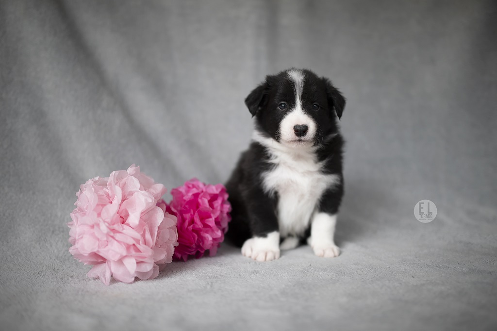 VIVA LA TIA kennel,breeding, sale, Border Collie puppies Forestry (Poland Pomorskie) Hodowla, s